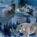 سأبقى كذلك الذئب الذي يجاهد ليبقى شامخا لا ينكسر بعدما سلب منه الزمان أعز حبيب لديه،،