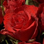 roses photo wallpaper 02557 high
