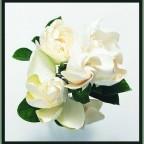 gardenia23