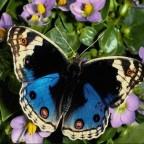 papillon21 538
