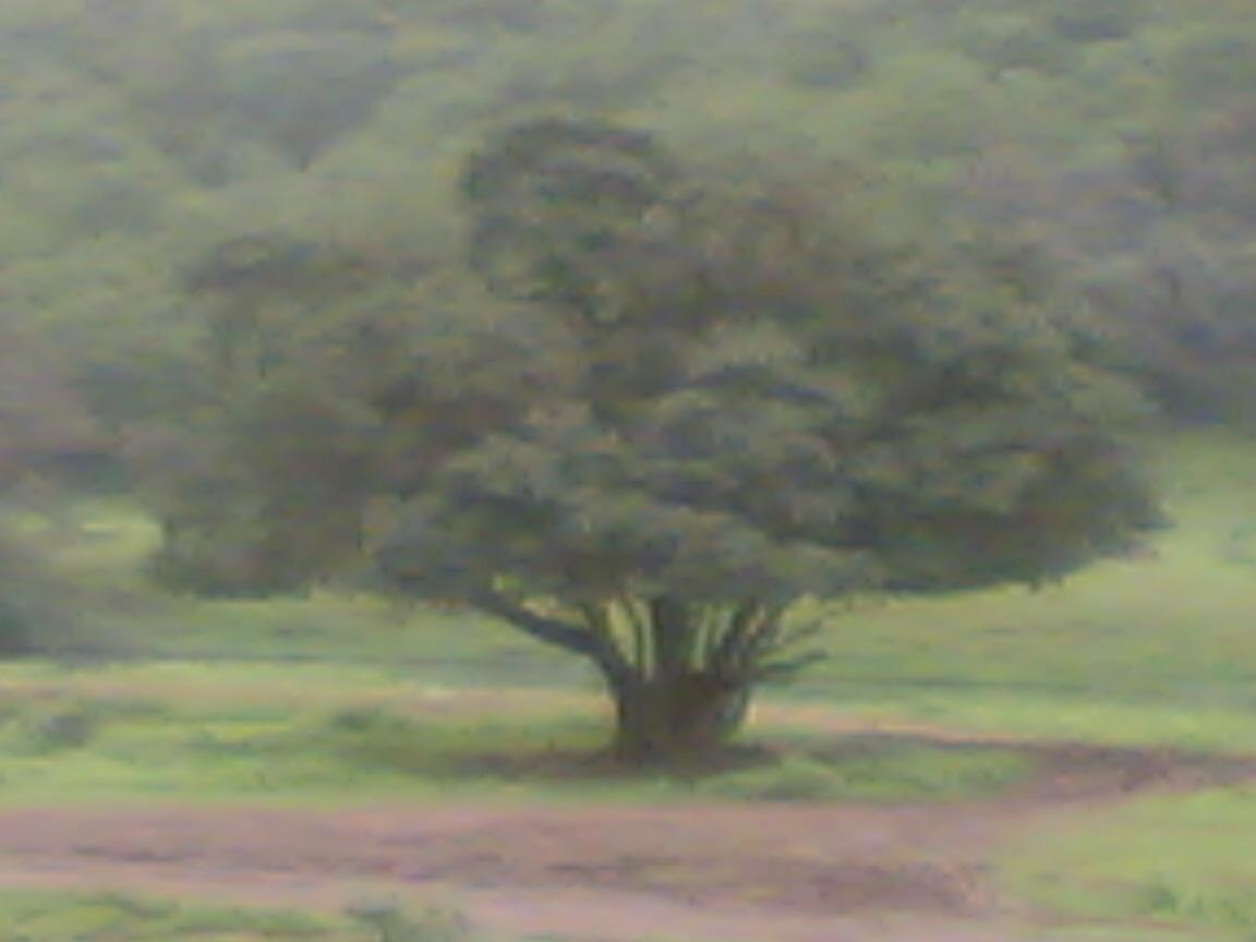 شجرة وحيدة