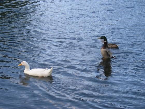 طيور وماء - ليدز - بريطانيا