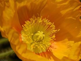 Poppy_1334