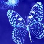 papillon blue