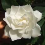 760px-White_Gardenia_flower
