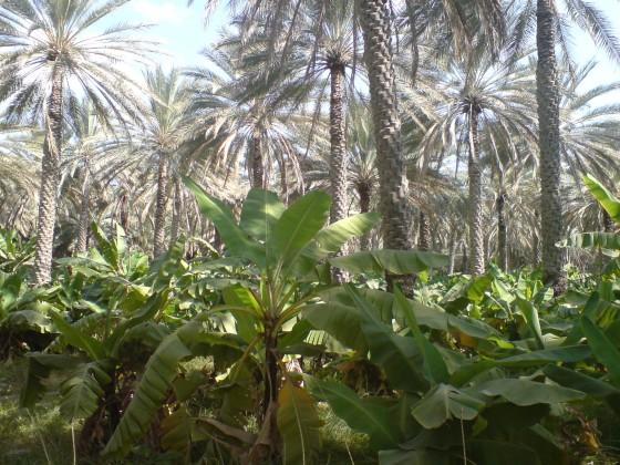 مزارع بركة الموز