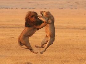 ht lion fight 071106 ssh
