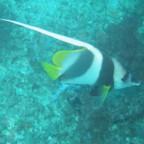 سمكة الملاك