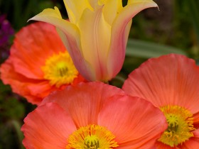 Poppies_Tulip_HS8922LGsigned1