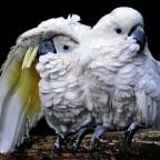 الطير الوفاء